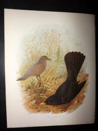 Butler, Frohawk & Gronvold 1908 Antique Bird Print. Blackbird 06